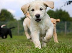 Guide-Dogs-puppy-running-300x247
